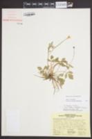 Image of Ranunculus carolinianus