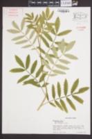 Image of Melianthus minor