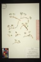 Elaphoglossum obovatum image