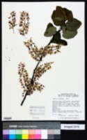 Image of Cercis racemosa