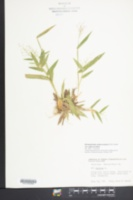 Dichanthelium sphaerocarpon var. sphaerocarpon image