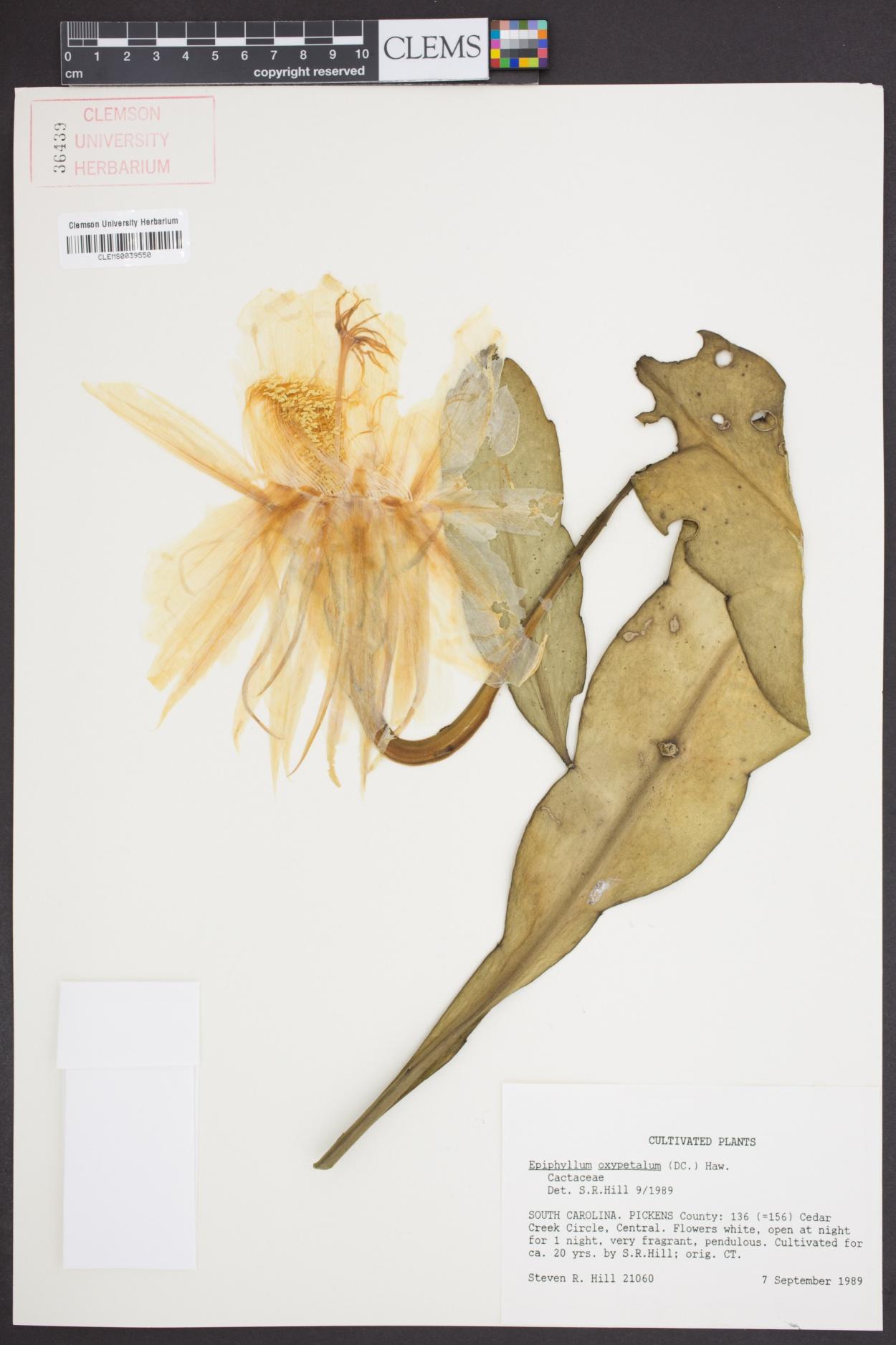 Epiphyllum image
