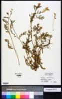 Image of Corydalis crystallina