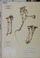 Siphonychia diffusa image