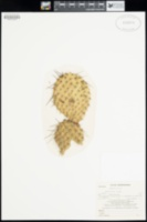 Opuntia polyacantha image