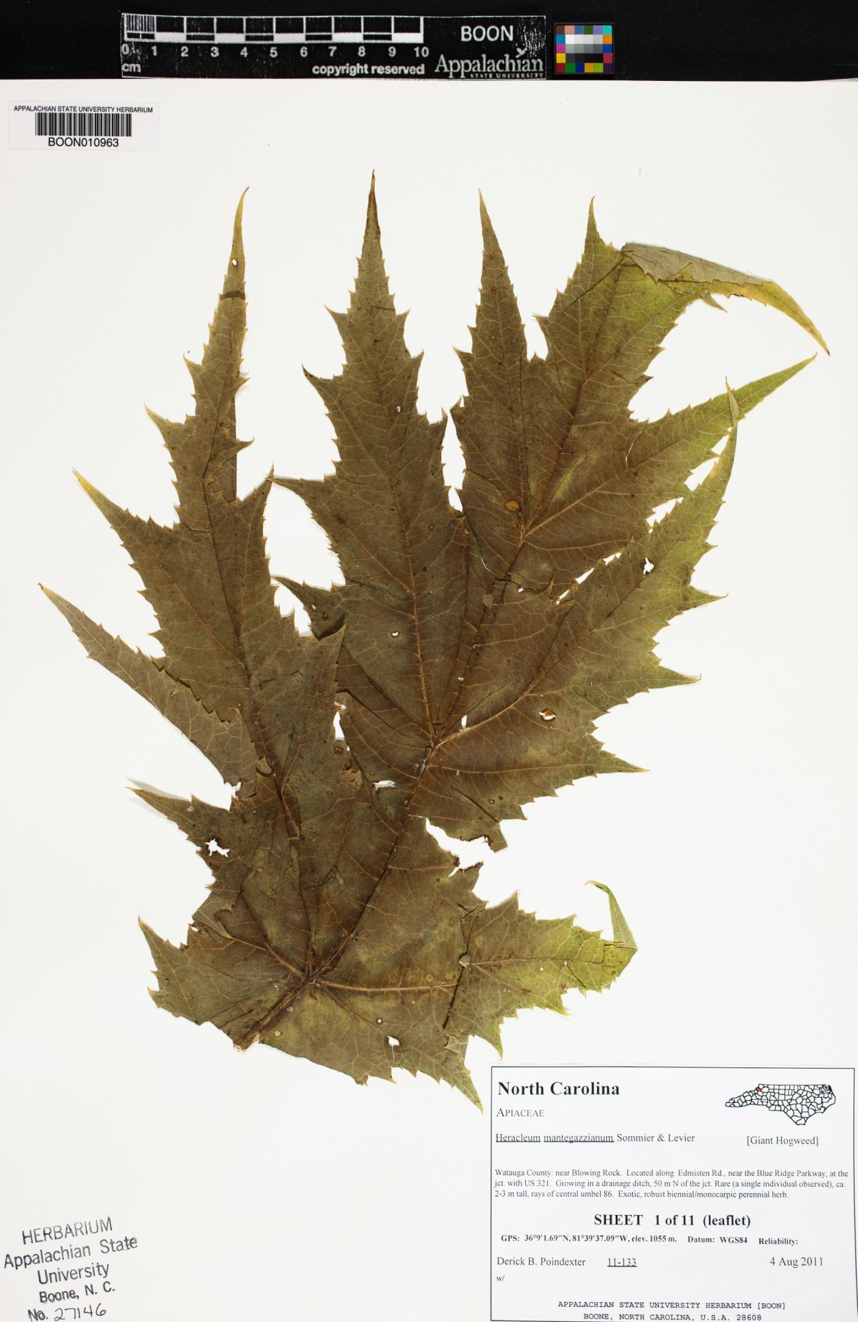Heracleum mantegazzianum image