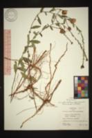 Symphyotrichum georgianum image