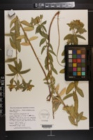 Image of Euphorbia platyphylla