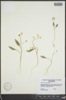 Claytonia caroliniana image