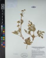 Image of Cyperus calderoniae
