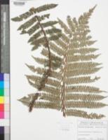 Image of Alsophila amintae