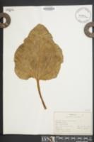 Image of Rheum rhaponticum