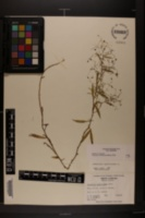 Campanula aparinoides var. aparinoides image