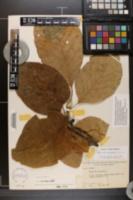 Magnolia acuminata var. subcordata image
