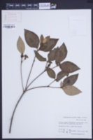 Image of Rhododendron mariesii