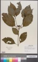 Image of Hamelia axillaris