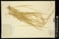 Eriochloa acuminata image