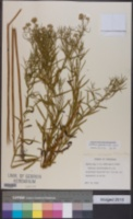 Image of Euthamia gymnospermoides