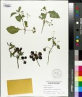 Solanum scabrum image