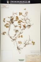 Image of Marsilea crotophora