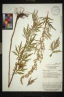 Image of Artemisia codonocephala