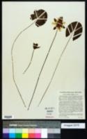 Nymphaea tetragona image