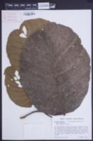 Sloanea dentata image