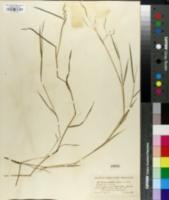 Image of Glyceria fernaldii