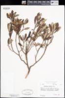 Xylococcus bicolor image