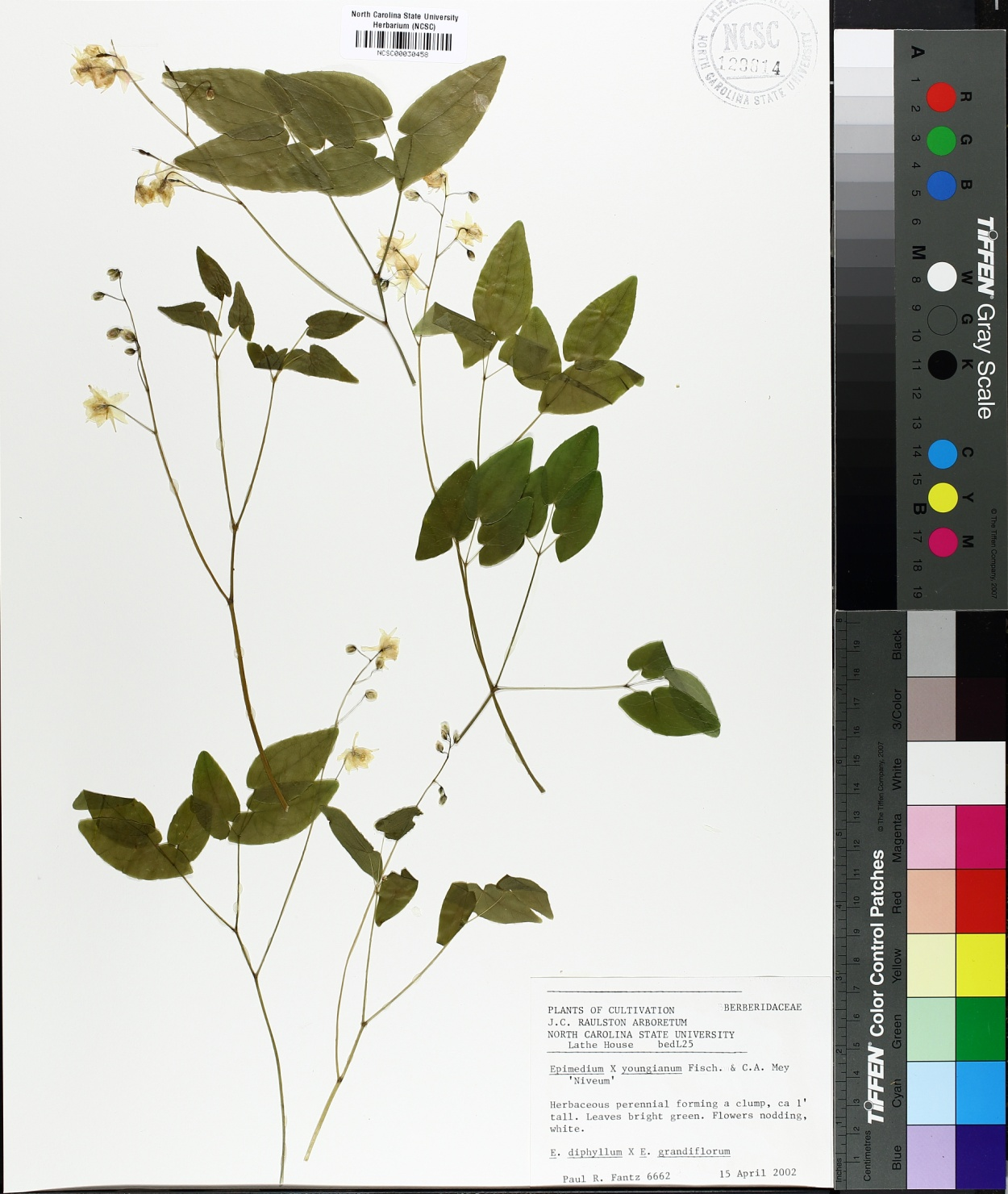 Epimedium x youngianum image