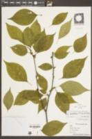 Ilex montana image