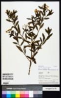 Image of Ambrosia peruviana