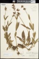 Penstemon attenuatus image