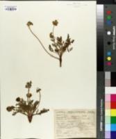 Lomatium donnellii image