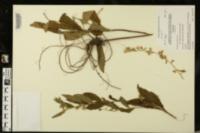 Solidago petiolaris image
