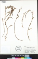 Polygonum argyrocoleon image
