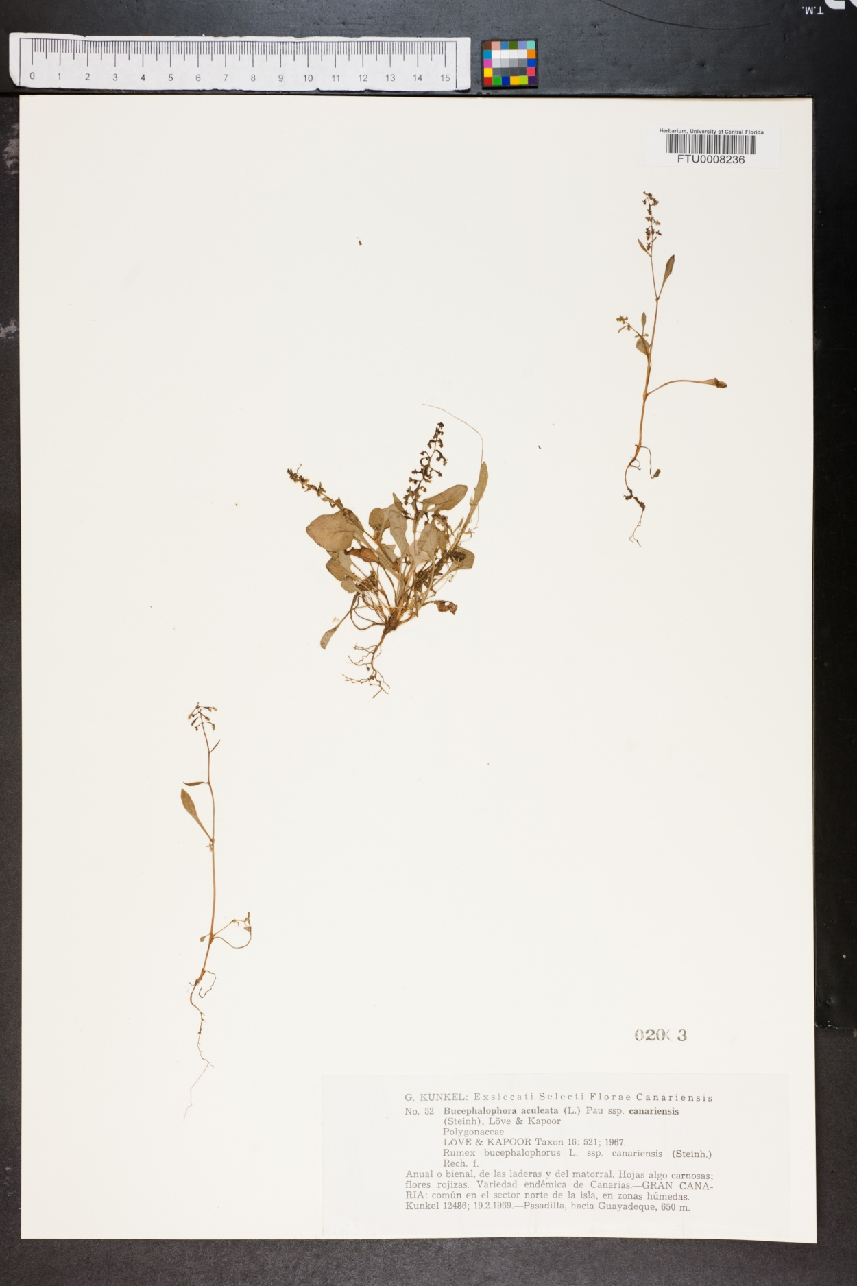 Rumex bucephalophorus image