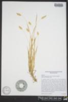 Phalaris angusta image