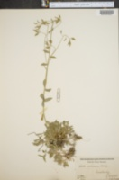 Image of Draba arabisans