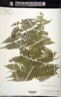 Image of Dennstaedtia ordinata