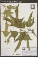 Quercus falcata image