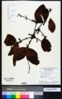 Image of Phoradendron crassifolium