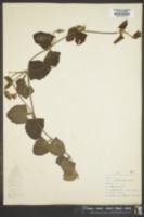 Image of Thunbergia gregorii