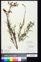 Vernonia angustifolia image