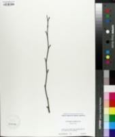 Image of Corylopsis glabrescens