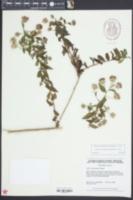 Ampelaster carolinianus image