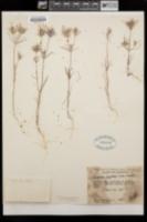 Linanthus bigelovii image