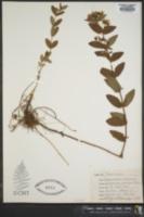 Hypericum graveolens image
