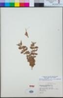 Epilobium canum subsp. latifolium image