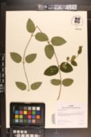 Image of Lonicera acuminata